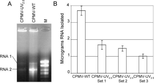 UV-Crosslinking of CPMV genomic RNA.A. Total genomic RNA was isolated using phenol-chloroform extraction from purified CPMV particles either untreated (CPMV-WT) or treated with 2.0 J/cm2 of UV radiation (CPMV-UV2.0), and equal quantities of purified RNA were separated on an agarose gel matrix. Genomic RNA-1 (5.9 kb) and RNA-2 (3.6 kb) are indicated. M: molecular weight markers. B. RNA was extracted in triplicate from 20 micrograms of CPMV-WT or from three individually UV-inactivated samples of CPMV-UV2.0. Results are reported as total viral RNA isolated from phenol-chloroform extractions (mean+/−S.D.). Data are representative of two independent experiments.