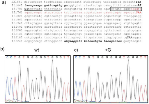 Evidence for a frame-shift mutation within the M135R gene from Danish samples of myxoma virus. Panel (a). The nucleotide sequence of the myxoma virus M135R gene, plus flanking sequences, is shown. Primers M135Rfor and M135Rrev (see Table 2), indicated in bold italics, were used to amplify by PCR the M135R gene, together with some flanking sequences at both termini, and these fragments were sequenced directly. The myxoma virus sequences included in primers M135RXFOR and M135RAPAREV (Table 2) for amplifying the coding sequence for M135R are underlined. The initiation and termination codons within these primers are indicated in bold capitals. The region of the gene in which a frame-shift mutation was present in certain virus samples is indicated within a rectangle. Panels (b) and (c.) Sequence traces obtained by analysis of a wt M135R gene sequence (as in the myxoma vaccine, panel (b)) and the mutant (+G) form (panel (c)) found in the majority of Danish clinical samples in 2007. The region shown corresponds to the portion of the sequence contained within the rectangle in panel (a). The region of the M135R gene which is predicted to be translated in a different reading frame, downstream of the insertion of a G nucleotide, is indicated in red in panel (a). The termination codons (TAA) for the wt and mutant M135R gene products are indicated in bold capitals.