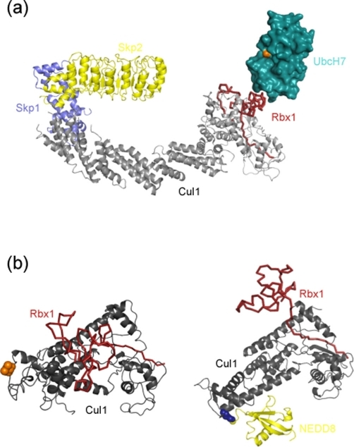 Conformational change accompanies catalysis in E3s(a) Model for an E2/SCFSkp2 complex. This image was generated by merging the structures of Cul1-Rbx1-Skp1-Skp2 (1LDK) [14] and Skp1/Skp2 (1FQV) [20] as described in [14]. The E2 UbcH7 (2FBV) was then placed on to the Rbx1 RING domain guided by the c-Cbl-UbcH7 structure [21]. Skp1 and Skp2 are shown in blue and yellow (respectively), Cul1 in dark grey, Rbx1 in dark red, and the E2 UbcH7 in cyan. The catalytic cysteine is coloured pink. (b) Conformational change accompanies neddylation of Cul1. The panels highlight the change in the association of Rbx1 with Cul1 that accompanies Cul1 neddylation (dark red arrow). For comparison, only the Cul1 C-terminal domain (dark grey) is drawn. The left panel shows the non-neddylated structure in which Rbx1 (dark red ribbon) forms a close association with Cul1. Lys724 (non-neddylated) is drawn as blue spheres. The right panel depicts the neddylated Cul1-Rbx1 complex. Neddylation (NEDD8, red) promotes a more open Cul1-Rbx1 association. Lys724 covalently bound to NEDD8 is drawn as blue spheres. Cul1, cullin 1; NEDD8, neural precursor cell expressed, developmentally downregulated 8; Rbx1, RIGG-box protein 1; RING, really interesting new gene; SCF, Skp1 [S-phase kinase-associated protein 1]-cullin-F box; Skp, S-phase kinase-associated protein.