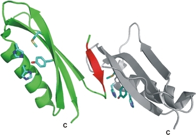A ribbon diagram of CuBD124–189. Chains A and B are coloured in grey and green, respectively. Strand β0 of chain B is highlighted in red. The side-chains of the copper binding residues and Met170 are shown as blue sticks
