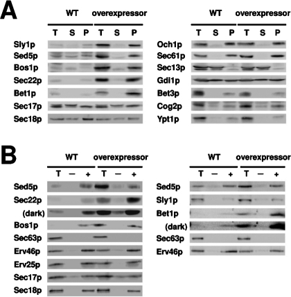 Characterization of membranes that overexpress anterograde ER-Golgi SNARE proteins and Sly1p. (A) Semi-intact cells from the overexpressor strain containing 2μ-BET1, 2μ-BOS1, 2μ-SEC22, 2μ-SED5, and 2μ-SLY1 (CBY3061) and the wild-type strain (CBY3062) were fractionated into soluble (S100) and pellet (P100) fractions for immunoblot analysis. (B) Budding reactions in which CBY3061 and CBY3062 microsomes were incubated in the absence (–) or presence (+) of COPII proteins for 30 min at 23°C. Immunoblots compare indicated proteins in budded vesicle fractions with one-tenth of total (T) budding reactions. Longer exposures (dark) are included for the Sec22p and Bet1p immunoblots.