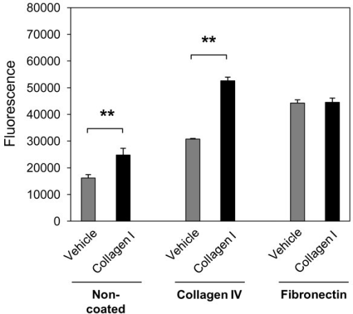 Collagen I induces normal human lung fibroblast (NHLF) migration through collagen IV. NHLFs were grown on non-coated 8.0 μm polycarbonate inserts, or inserts coated with collagen IV (10 μg/cm2) or fibronectin (5 μg/cm2). Cells were serum-starved for 24 h and incubated with collagen I (25 μg/mL) or vehicle (acetic acid, 0.1 M) for 24 h. The bottom chamber was treated with cell dissociation buffer and acetomethoxycalcein (calcein AM) for 1 h at 37°C. Fluorescence of solution with detached cells was measured at 485 nm excitation and 520 nm emission. Results are representative of mean fold increase ± SD of two independent experiments performed in triplicate (n = 6, **P < 0.01).