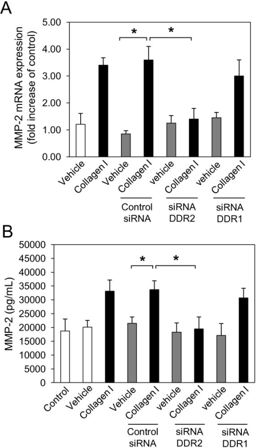 Collagen I induces matrix metalloproteinase (MMP)-2 expression through discoidin domain receptor (DDR)2, but not DDR1 in normal human lung fibroblasts (NHLFs). NHLFs were reverse transfected with negative control small interfering (si)RNA, and DDR2-specific and DDR1-specific siRNA using lipofectamine RNAiMAX. At 48 h after transfection, NHLFs were serum-starved for 24 h and incubated with collagen I (25 μg/mL) or vehicle (acetic acid, 0.1 M) for 16 h. Total RNA was isolated, reverse transcribed and real-time quantitative PCR was performed using the TaqMan system with specific primers and TaqMan probes for human, MMP-2 (A), and glyceraldehyde 3-phosphate dehydrogenase (GAPDH). The expression changes (fold increase) were calculated relative to unstimulated control cells after normalizing with GAPDH. Results are representative of mean fold increase ± SD of three independent experiments performed in triplicate (n = 9, *P < 0.05). NHLFs were transfected with DDR2-specific or DDR1-specific siRNAs or negative control siRNA prior to starvation and 16 h of collagen I stimulation. MMP-2 (B) protein was measured in the culture supernatant by ELISA. Results are representative of mean fold increase ± SD of three independent experiments performed in triplicate (n = 9, *P < 0.05).