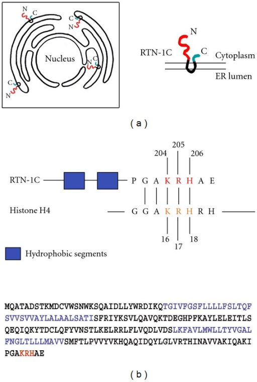 (a) Scheme showing the reticulons distribution on endoplasmic reticulum and the physical connection between nuclear envelope and ER membrane. (b) Schematic diagram of RTN-1C and histone H4 proteins showing the shared GAKRH motif. The blue aminoacids indicate the two hydrophobic segments of RTN-1C protein. The red aminoacids indicate the three positive charges in the H4 consensus motif. RTN-1C is acetylated on Lys 204.
