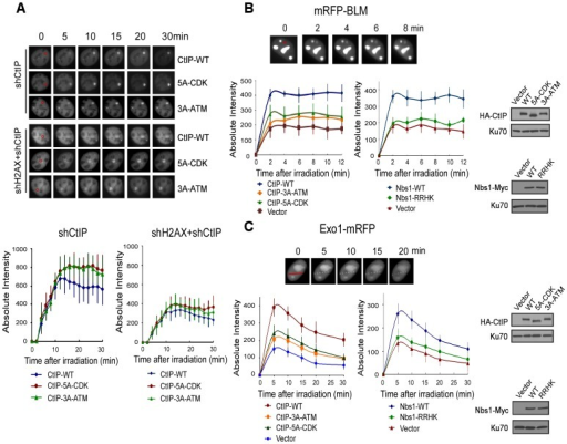 ATM-mediated phosphorylation of CtIP promotes the recruitment of BLM and Exo1 to laser-induced DSBs.A. EGFP-CtIP variants and mRFP-PCNA were co-expressed in U2OS cells with endogenous CtIP or both CtIP and H2AX silenced by shRNAs. Live-cell imaging of EGFP-CtIP in S-phase cells, marked by PCNA S-phase-associated replication foci [68], was performed following laser-induced microirradiation. Representative cells show the recruitment of EGFP-CtIP WT or indicated mutants to laser-microirradiated disk regions, which are indicated by red circles in the 0 min cell images. Absolute intensity of EGFP-CtIP fluorescence signals at damage sites was determined; error bars, s.d. B and C. Recruitment of mRFP-BLM (B) and Exo1-mRFP (C) to DSBs was monitored in U2OS cells expressing HA-CtIP or Nbs1-Myc variants, with endogenous CtIP or Nbs1 silenced. Representative cells show the recruitment of mRFP-BLM or Exo1-mRFP to microirradiated regions (a disk region for mRFP-BLM marked by a red circle and dots on a line for Exo1-mRFP marked by a red line in 0 min cell images). Absolute intensities of mRFP-BLM or Exo1-mRFP fluorescence signals were determined; error bars, s.d. Western blots show expression of indicated proteins, with Ku70 as a loading control.