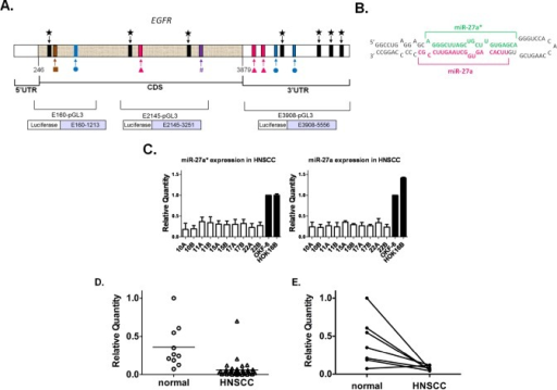 miR-27a* has putative binding sites in EGFR mRNA and shows decreased expression in HNSCC cell lines and human tumor tissues(A) Identification of specific miR-27a(), −27a*(), −27b(), −27b*(#), −7(), −128() candidate binding sites within EGFR mRNA using in silico screening methods; (B) Hairpin representation of the pre-miR-27a with the sequences of miR-27a* (green) and miR-27a (magenta) highlighted; (C) Decreased expression of mature miR-27a and −27a* by qRT-PCR in 10 HNSCC cell lines and normal oral keratinocytes (OKF-6 and HOK16B). Values normalized to OKF-6, p<0.005; (D) Analysis of miR-27a* RNA in human HNSCC and normal mucosal specimens by qRT-PCR revealed an overall decrease in miR-27a* expression levels in HNSCC, p<0.0001; (E) Comparison of miR-27a* levels in matched normal/HNSCC tissue pairs demonstrated decreased expression in the tumors as compared to matched normal tissue, p<0.01.