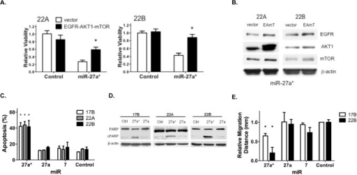 Overexpression of EGFR axis signaling components reverses the loss of HNSCC cell viability mediated by miR-27a*, which increases apoptosis and reduces migration(A) The effect of miR-27a* on cell viability is decreased in 22A and 22B cells by overexpression of EGFR, AKT1 and mTOR 48 hrs prior to miR-27a* expression as compared to control vector, *p<0.01; (B) Overexpression following transfection with EGFR, AKT1 and mTOR (EAmT) vectors was confirmed by immunoblot analysis. (C) Annexin V assay shows increased apoptosis in HNSCC cells after transfection with miR-27a*, *p<0.005; (D) Transfection with miR-27a* leads to increased PARP cleavage compared to miR-27a and -Control; (E) Wound healing assay demonstrates decreased migration distance after 24 hrs after transfection of miR-27a* compared to miR-Control, −27a, and −7, *p<0.001.