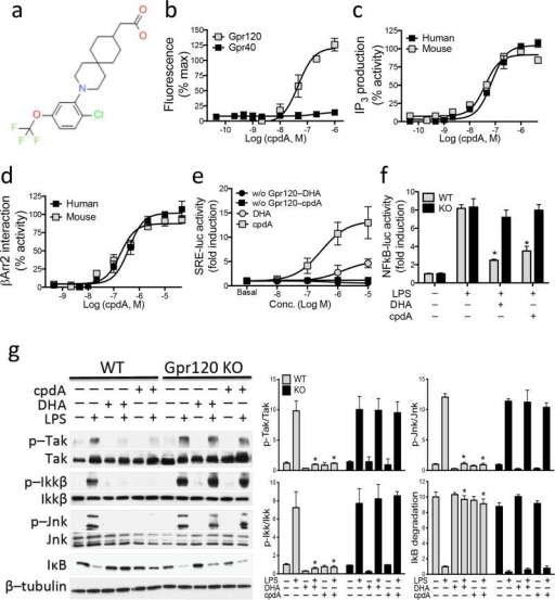 CpdA is a selective agonist of Gpr120(a) Chemical structure of cpdA. Dose response data for cpdA are shown in (b) Ca2+ mobilization for Gpr120 vs. Gpr40 transfected cells. Dose response data for cpdA are shown in (c) IP3 production, and (d) β-arrestin-2 interaction assay with human and mouse Gpr120. Results are % activity over basal. (e) Gpr120-mediated SRE-luc activity after treatment with DHA and cpdA for 6 hr in HEK 293 cells. (f) NFkB-luc activity after pretreatment with DHA and cpdA for 1 hr subjected followed by LPS for 6 hr in primary macrophages from WT or Gpr120 KO mice. Results are fold activities over basal. Each data point represents mean±SEM of three independent experiments performed in triplicate. P<0.05 versus LPS treatment in WT macrophages. (g) DHA and cpdA inhibits LPS-induced inflammatory signaling in primary macrophages from WT, but not Gpr120 KO macrophages. The scanned bar graph (right panel) shows fold induction over basal conditions (p-Tak, p-Ikk, and p-Jnk) or LPS treatment (IkB degradation). Data are expressed as the mean±SEM. *, P<0.05 versus LPS treatment in WT mice to DHA+LPS or cpdA+LPS. n=6 per group. Data is a representative image from more than five independent experiments.
