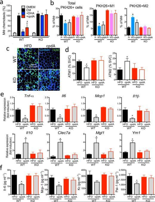 Anti-inflammatory effects of Gpr120 agonism(a) Effect of Gpr120 agonist on 3T3-L1 adipocyte CM-induced chemotaxis of primary macrophage from WT and Gpr120 KO mice. (b)In vivo tracking of PKH26 positive monocytes in WT and Gpr120 KO mice on HFD or HFD+ω3-FA (W3) or HFD+cpdA. n=6 per group. (c) ATM content by F4/80 staining in adipose tissue sections from WT and Gpr120 KO mice on HFD or HFD+cpdA. Scale bar indicates 250 μm. (d) FACS analysis of ATMs from WT and Gpr120 KO mice on HFD or HFD+cpdA. n=6 per group. (e) Relative mRNA level of inflammatory cytokines (upper row) and anti-inflammatory cytokines (lower row) in adipose tissue from WT and Gpr120 KO mice from HFD or HFD+cpdA. n= 10 per group. (f) Serum Il–6, Mcp–1, Kc, and Pai–1 levels from WT and Gpr120 KO mice on HFD or HFD+cpdA. n= 10 per group. Data are expressed as the mean±SEM. *, P<0.05 versus WT mice on HFD.