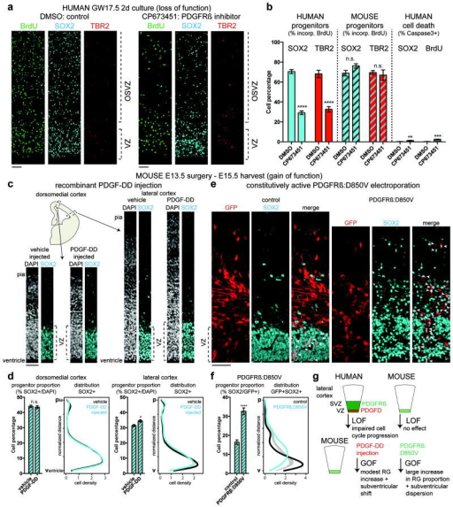 PDGFD/PDGFRß signaling is necessary for normal cell cycle progression of neocortical RG in humans and sufficient to promote RG identity in micea, GW17.5 human neocortical slice cultures were treated with BrdU and DMSO (control) or an inhibitor of PDGFRß signaling (CP673451) (scale bar 50 μm). The same experiment was performed in E13.5 mouse neocortical slice cultures (slices from at least 3 individuals/litters per species). b, RG (IP) proliferation was quantified as the fraction of SOX2+ (TBR2+) cells that incorporated BrdU after 48 hours. RG slice counts: human (n = 18 [DMSO] vs. n = 17 [CP673451]); mouse (n = 13 [DMSO] vs. n = 11 [CP673451]). IP slice counts: human (n = 12 [DMSO] vs. n = 10 [CP673451]); mouse (n = 11 [DMSO] vs. n = 9 [CP673451]). Cell death was quantified in human slices as the fraction of SOX2+ or BrdU+ cells that co-stained for cleaved-caspase 3 (n = 6 [DMSO] vs. n = 7 [CP673451]). c,In utero intraventricular injection of recombinant human PDGF-DD protein (mouse E13.5-E15.5). Brain tissue was stained for SOX2 and DAPI (scale bar 50 μm). d, Quantification of data from c in dorsomedial and lateral cortex (at least n = 3 slices per embryo from 5 litters/experiments [lateral: n = 49 vehicle; n = 47 PDGF-DD; dorsomedial: n = 45 vehicle; n = 39 PDGF-DD]). The distribution of RG in the cortex (from ventricle to pia) was quantified; grey band delineates 95% confidence interval for test of equal univariate densities (n = 10,000 permutations). e,In utero electroporation of constitutively active PDGFRβ:D850V23 (mouse E13.5-E15.5). Cortex was stained for SOX2; white arrowheads indicate co-labeling with electroporated GFP cells (quantified in f: at least n = 3 slices per embryo from 2 litters; n = 15 [control], n = 18 [PDGFRβ:D850V]; scale bar 50 μm). Note disrupted epithelial structure of VZ. Error bars = mean +/- s.e.m. Statistical significance for treatment was determined by ANOVA of multiple linear regression after controlling for individual (b) or litter (d, f) (n.s. P > 0.05, *P ≤ 0.05, **P ≤ 0.01, ***P ≤ 0.001, ****P ≤ 0.0001). g, Schematic summarizing experimental manipulations and results. LOF: loss-offunction, GOF: gain-of-function.