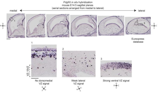 Pdgfrβ is strongly expressed by ventral RG and weakly expressed by lateral RG in miceIn situ hybridization of Pdgfrβ in sagittal sections through the mouse forebrain (E14.5) across a medial-lateral axis (Eurexpress21: http://www.eurexpress.org/ee/) demonstrates progenitor expression in the ventral germinal regions. This expression extends into the dorsal cortex in the lateral aspect of the brain, but is not widespread. In contrast, no progenitor expression is detected in dorsomedial cortex (scale bar 500 μm, inset scale bar 100 μm). Expression is also detected in the pia and vascular pericytes. VZ: ventricular zone, SVZ: subventricular zone.
