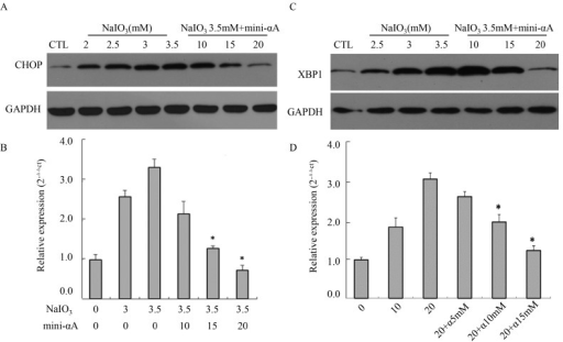 Effects of mini-αA on CHOP and XBP1 expression level. (A) Western blot analysis was performed to detect the expression level of CHOP protein in each group; (B) RT-qPCR was used to detect the expression level of CHOP mRNA in each group. CTL: normal ARPE-19 cells; * p < 0.05; (C) Western blot was performed to detect XBP1 protein expression level in each group; (D) RT-qPCR was used to detect the expression level of XBP1 mRNA in each group. NaIO3 induction elevated the expression level of XBP1 in RPE cells, while mini-αA treatment inhibited the increase caused by NaIO3 induction. CTL: normal ARPE-19 cells, NaIO3: cells induced with NaIO3; NaIO3 + mini-αA: cells treated first with mini-αA and then with NaIO3. GAPDH was used as the internal. * p < 0.05.