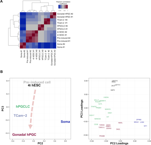 Global Transcriptome Analysis of hPGCLC, Related to Figure 2(A) Pearson correlation heat map of gene expression (log2(normalized read counts)) in various samples with unsupervised hierarchical clustering. The color key indicates the correlation coefficient.(B) Two-dimensional principal components analysis of gene expression (PC3 against PC2) of the indicated samples (left panel). A corresponding loadings plot indicates the weight of various genes on PC2 and PC3 (right panel). Gene names are color-coded to illustrate association with pluripotency (black), early germ cell development (green), late germ cell development (red) and gonadal somatic cell development (blue). Arrowline indicates potential germline progression from 4i hESC via hPGCLC to gonadal hPGC.