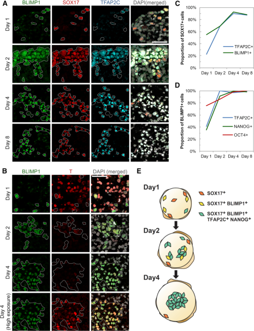 Sequential Expression of Germ-Cell-Related Transcription Factors in Single Cells during hPGCLC Specification(A and B) Immunofluorscence analysis for (A) BLIMP1, SOX17, and TFAP2C and (B) BLIMP1 and T in cryosections of day 1–8 embryoids after hPGCLC induction. Bottom row in (B) shows high exposure (digital) image of T, indicating low but specific expression in hPGCLC. SOX17-positive or BLIMP1-positive cells are highlighted. Scale bars, 50 μm.(C) Percentage of SOX17-positive (+) cells in day 1–8 embryoids that were also TFAP2C+ or BLIMP1+. Corresponds to data in Figure 4A.(D) Percentage of BLIMP1-positive (+) cells in day 1–8 embryoids that were TFAP2C+, NANOG+, or OCT4+. Corresponds to data in Figures 4A, S4A, and S4B.(E) Summary model for dynamics of hPGCLC specification in embryoids. SOX17-positive cells are first scattered in day 1 embryoids. They gain expression of BLIMP1, TFAP2C, and NANOG sequentially and form a cluster from day 2 onward until the formation of nascent hPGCLC.