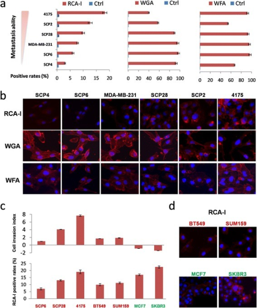 The RCA-I-binding tendency is constant with the invasion ability of TNBC cells rather than those of non-TNBC cells. (a) FCM analysis confirms the proportional, inversely proportional, and uncorrelated binding to the metastatic capacity of these cells with RCA-I, WGA, and WFA, respectively. (b) Incubation of biotinylated RCA-I, WFA, or WGA, followed by the addition of Cy3-conjugated streptavidin and direct inspection with microscopy further confirmed the cell-binding tendencies of these lectins. (c) The RCA-I-binding positive rates of five TNBC (red) and two non-TNBC cells (green) were analyzed by FCM, which were referred to their relative metastatic abilities. (d) The immunofluorescent staining of RCA-I binding to another two TNBC cells (SUM159 and BT549) and two non-TNBC cells (MCF7 and SKBR3). FCM, flow cytometry; RCA-I, Ricinus communis agglutinin I; TNBC, triple-negative breast cancer; WFA, Wisteria floribunda agglutinin; WGA, Triticum vulgaris agglutinin.