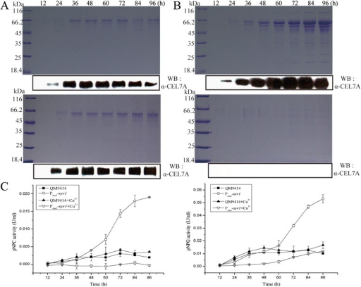 Ptcu1-xyr1 recovered cellulase gene expression on induction by 1% lactose. (A) SDS-PAGE and Western blot analysis of the secreted proteins in the culture supernatant of QM9414 (A) and Ptcu1-xyr1(B) strains grown on 1% (wt/vol) lactose with (lower panel) or without (upper panel) addition of CuSO4. (C) pNPC and pNPG hydrolytic activities of the culture filtrates from QM9414 and Ptcu1-xyr1 strains induced with 1% (wt/vol) lactose and cultured in the presence or absence of CuSO4. A significant difference (P < 0.05) was detected for the culture filtrates of Ptcu1-xyr1 after 72 h without copper addition compared with those of QM9414. Error bars are the SD from at least two biological replicates.