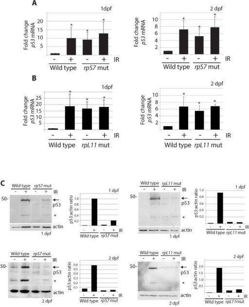 p53 protein stabilization is impaired independently of p53 mRNA levels.A) qPCR analysis measuring levels of p53 mRNA in wild type or rpS7 mutants at 1 or 2 dpf either untreated or exposed to 25 Gy ionizing radiation. B) qPCR analysis of p53 mRNA levels in wild type or rpL11 mutants at 1 or 2 dpf either untreated or exposed to 25 Gy ionizing radiation. *p<0.05. C) Western blot analysis of p53 protein levels and the quantification of the p53:actin ratio of in rpS7 or rpL11 mutants at 1 or 2 dpf either untreated or exposed to 25 Gy ionizing radiation. * indicates either a p53-specific isoform or a degradation product.