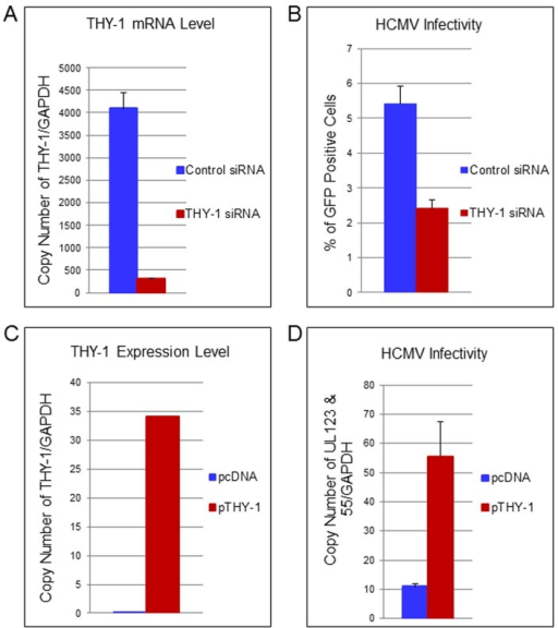 Down-regulation of THY-1 expression impairs HCMV entry and exogenous expression of THY-1 enhances entry.(A) Quantitative RT-PCR of THY-1 expression in SNB-19 (glioblastoma) cells 48 hr after nucleofection of THY-1 specific siRNAs and control non-targeting siRNAs. THY-1 specific siRNAs knocked down THY-1 expression. (B) HCMV infectivity of SNB-19 cells treated with siRNAs for 48 hr and infected with epithelial/endothelial tropic HCMV TB40E-GFP (m.o.i. 0.1). The virus was incubated with cells for 60 min to allow entry before inactivation of virus that had not internalized, and GFP-positive cells were quantified by FACS at day 3 post-infection. Down-regulation of THY-1 by specific siRNAs inhibited HCMV infectivity (P <0.001). 14 independent experiments were performed and a representative result is shown. (C) SF-539 cells were nucleofected with a plasmid expressing THY-1 (pCMV-THY1) or vector control. At 48 hrs post-transfection THY-1 mRNA was quantified by RT-PCR and normalized to GAPDH mRNA amplified in the same reaction. (D) SF-539 cells were infected with Towne-GFP at 48 hr post-transfection for 6 hr and HCMV UL123 and UL55 mRNAs were quantified by RT-PCR and normalized against GAPDH mRNA. Seven independent experiments were carried out and a representative experiment is shown.