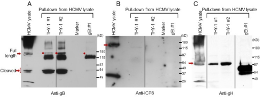 HCMV gB and gH, but not ICP8, obtained from infected cell lysates binds to a THY-1 protein column.(A) Anti-gB antibody detects full length gB (160 kD) and furin cleaved gB (55 kD doublets) in eluates of HCMV-infected cell lysates from THY-1 protein columns with either of two lysis buffers, but not from the VZV gE protein column. The very dark 115 kDa band seen in the THY-1 and gEt bands are background bands likely due to cross-reactivity of the anti-gB or secondary antibody with protein from the His column. (B) Anti-ICP8 antibody detects a 135 kD protein band in lysate from MRC-5 cells infected with HCMV AD169, but not from eluates of lysates applied to THY-1 or VZV gE protein columns. Infected cell lysates were prepared using lysis buffer 1 (PBS with 0.1% NP-40) or lysis buffer 2 (25 mM Tris, 15 mM NaCl and 0.1% NP-40). (C) Anti-gH antibody detects gH (92 kD) in eluates of HCMV-infected cell lysates from THY-1 protein columns with two different lysis buffers. gH was not detected in eluate from a control varicella-zoster gE column.