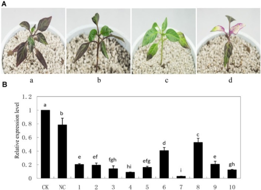 Silencing efficiency of CaMYB in pepper plants using a tobacco rattle virus (TRV)-based Virus-induced gene silencing (VIGS) system. (A) Phenotypes of pepper plants 21 days after infiltration of different vectors. a: non-infiltrated control (CK); b: negative control (NC) plants (PTRV2:00); c: CaMYB-silenced plant (PTRV2:CaMYB); d: PDS-silenced plant (PTRV2:PDS). (B) Quantitative real time-PCR analysis of CaMYB expression levels in leaves of CK, NC plants and CaMYB-silenced plants. Ten silencing plants were analyzed (numbered 1–10). Error bars represent mean ± SD for three technical replicates for each plant. Bars with different lower case letters in each group indicate significant differences using Duncan's multiple range test at p < 0.05.
