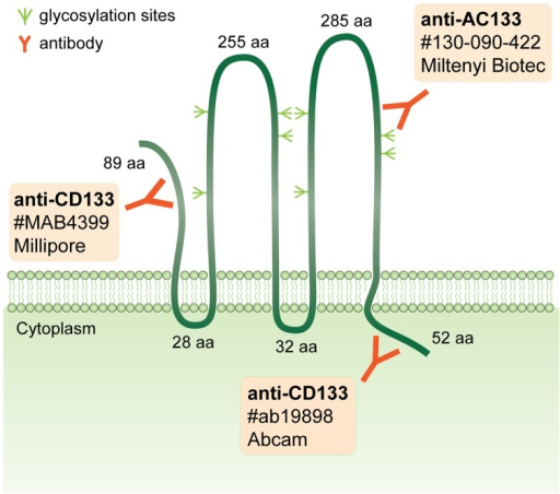 Overview of epitopes of the anti-CD133 and anti-AC133 antibodies used in this study. For each antibody, the catalogue number and manufacturer are indicated. Potential glycosylation sites, as well as length of the N-terminal region, the intracellular and extracellular loops and the C-terminal region of CD133 are depicted.