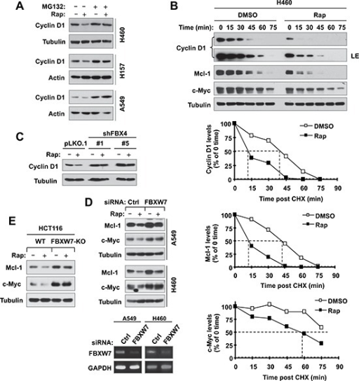 Rapamycin decreases the levels of cyclin D1, c-Myc and Mcl-1 through facilitating their degradation (A and B), which is mediated by either FBX4 (C) or FBXW7 (D and E)(A), The indicated cell lines were pre-treated with 10 μM MG132 for 30 min and then co-treated with 10 nM rapamycin for 6 h. (B), H460 cells were treated with DMSO or 10 nM of rapamycin for 6 h. The cells were then washed with PBS 3 times and re-fed with fresh medium containing 10 μg/ml CHX. At the indicated times, the cells were harvested for preparation of whole-cell protein lysates and subsequent Western blot analysis. Protein levels were quantified with NIH Image J Software and were normalized to tubulin. (C) The indicated A549 transfectants were exposed to 10 nM rapamycin for 6 h. (D) The indicated cells were transfected with the given siRNAs and after 48 h were exposed to 10 nM rapamycin for an additional 6 h. (E) The indicated cell lines were exposed to 10 nM rapamycin for 6 h. After the aforementioned treatments (A, C–E), the cells were then harvested for preparation of whole-cell protein lysates and subsequent Western blotting to detect the given proteins. Cellular total RNA was also extracted from the indicated cell lines in E for RT-PCR detection of FBXW7.