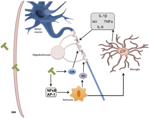 Inflammation in multiple sclerosis (MS). Immune T-cells bypassing the blood-brain barrier (BBB) affect oligodendrocyte structure and activate glial response through NF-κB and AP-1. Reactive oxygen species (ROS) and nitric oxide (NO) secretion by activated microglia and astrocytes further contribute to myelin damage, axon degradation, and ultimate neuronal death.
