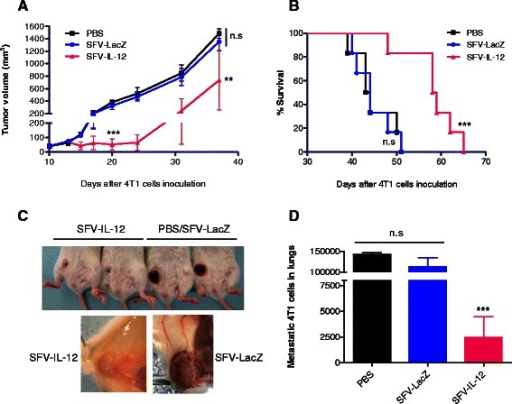 Antitumor effect of SFV-IL-12 in 4T1 tumor bearing mice. Two doses of SFV-LacZ or SFV-IL-12 (2×108 vp in 50 μl PBS) were i.t. injected at days 10 and 13 after 4T1 cells inoculation. An equivalent volume of PBS was administered to control animals a Tumor size progression was measured every 3-6 days and mean tumor volumes were calculated for each group (n = 6). b Kaplan–Meier plot shows the survival rate of the same mice. c Pictures of representative tumors 21 days after 4T1 cells inoculation showing the external aspect (upper panel) and interior tumor region (lower panel). A reduced volume and vasculature was observed in treated mice compared to control mice. d An additional group of treated and control animals were sacrificed 35 days after tumor cells inoculation and 4T1 lung metastases were quantified as described in Methods. Non-significant (n.s), p< 0.01 (**); p< 0.001 (***)