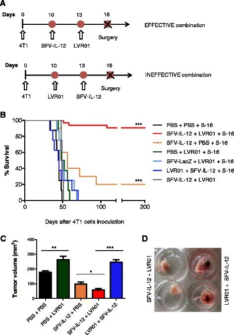 Combined neoadjuvant antitumor effect of SFV-IL-12 and LVR01. One dose of SFV-IL-12 or SFV-LacZ (2×108 vp in 50 μl PBS), or LVR01 (2×107 cfu in 50 μl PBS), or 50 μl PBS was i.t. injected at days 10 and/or 13 after 4 T1 cells inoculation. In most groups, treated tumors were surgically removed at day 16 (S-16). a Schematic representation of the therapeutic protocol for the combinations relevant to this study. b Kaplan–Meier plot shows the survival rate of the indicated groups of mice. The total number of animals included in the SFV-IL-12 + LVR01 + S-16 group was 31 (consecutive experiments) and the 28 survivor mice were employed in the re-challenge study presented in Fig. 8. For the rest of the groups n = 8-10. c Tumor size was measured before surgery (day 16) and mean + SD tumor volumes were calculated for each group. d Representative images of treated tumors excised 16 days after 4 T1 cells inoculation. p< 0.05 (*); p< 0.01 (**); p< 0.001 (***)