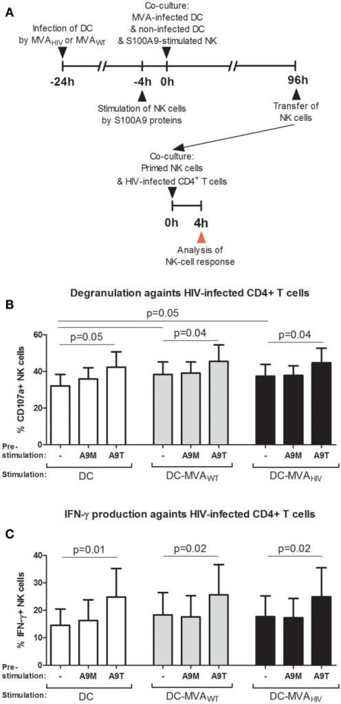 S100A9-tetramer stimulation prior to the priming by DCs enhances the anti-HIV response of NK cells. S100A9-stimulated and MVA-primed NK cells were tested in their ability to degranulate (express CD107a) and produce IFN-γ in response to HIV-infected autologous CD4+ T cells. (A) Schema depicts the protocol used in (B,C), in brief: DCs were infected or not by MVAWT or MVAHIV, and 24 h later non-infected DCs and S100A9-stimulated NK cells were added to the culture; and 96 h later (4 days) NK cells were transferred to a culture of HIV-infected CD4+ T cells and the degranulation and IFN-γ production were assessed. (B,C) Graphs show the percentage of CD107a+(B) and IFN-γ+(C) NK cells; cumulative results from six independent experiments are shown as mean ± SE and p values are shown. A9M, S100A9 monomer; A9T, S100A9 tetramer; DC-MVAWT, MVAWT-infected DC; DC-MVAHIV, MVAHIV-infected DC.