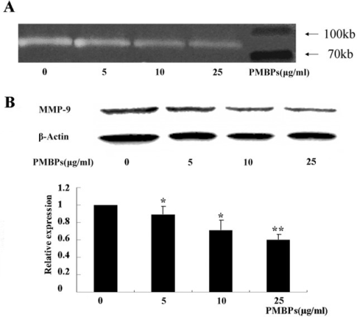 PMBPs suppress MMP-9 activity and expression.The cells were treated with PMBPs (0, 5, 10, 25 μg/ml) for 24 h. (A) Activity of MMP-9 in the cell supernatant at various concentrations of PMBPs was examined by gelatin zymography assay. The white bands represent MMP-9 mediated gelatin digestion. (B) The protein expression of MMP-9 in A2780 cells at various concentrations of PMBPs was evaluated by Western blot. Histogram shows mean level of MMP-9 (±SD) from three independent experiments. MMP-9 protein level was expressed relative to loading control, β-Actin, and standardized to the non-treated control group. *P<0.05 and **P<0.01 compared to the control group.