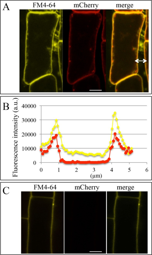 Colocalization of the plasma membrane marker FM4-64 and PHT1;4-mCherry in the phf1 Q0171>>PHF1 line.(A) Images of lateral root cap cells. For arrow, see (B). (B) Intensity profile of FM4-64 and mCherry fluorescence signals along the white arrow indicated in (A). (C) Images of a root epidermis cell. Yellow: FM4-64, red: mCherry. Scale bar: 5 µm.DOI:http://dx.doi.org/10.7554/eLife.14577.008