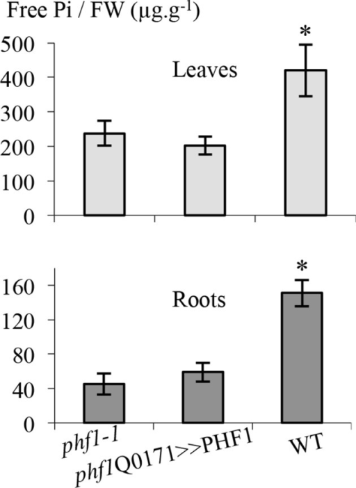 Effect of PHF1 complementation on free Pi content.Quantification of free phosphate present in roots and leaves. Values are means ± SD of three independent experiments. Pools of 10 to 20 plant tissues were analyzed. Significantly different from phf1-1 line: *P=0.008 (Leaves), P=0.0009 (Roots) (Student's t-test).DOI:http://dx.doi.org/10.7554/eLife.14577.01110.7554/eLife.14577.012Figure 3—figure supplement 1—source data 1.Effect of PHF1 complementation on free Pi content.Quantification of free phosphate present in roots and leaves.DOI:http://dx.doi.org/10.7554/eLife.14577.012