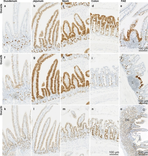 Localization of Guca2a (a–d), Guca2b (f–i), and Gucy2c (k–n) transcripts in intestinal epithelium. eGuca2a expression in follicle-associated epithelium in proximal jejunum. jGuca2b expression in follicle-associated epithelium in colon. oGucy2c expression in the region of transition from the gastric (G) to duodenal mucosa, with duodenal glands (DG) below. L lymphoid tissue