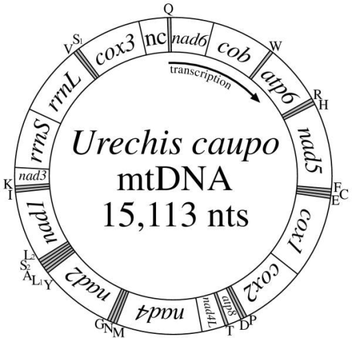 Mitochondrial Gene Map Of The Echiuran Urechis Caupo A