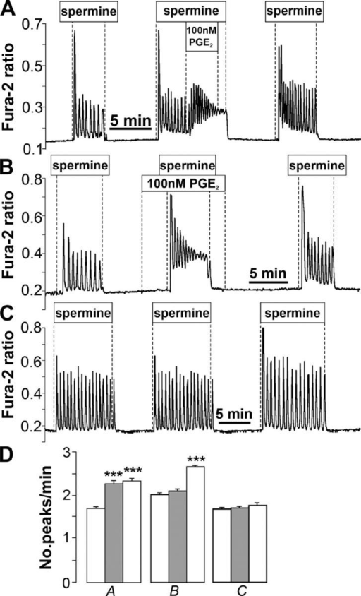 Stimulation of cAMP-generating pathways alters CaR-mediated intracellular Ca2+ oscillations as measured by fura-2 in HEK CaR cells. (A) Spermine-stimulated Ca2+ oscillations (1 mM spermine) are significantly enhanced in frequency and amplitude by acute addition of PGE2. (B) PGE2 pretreatment converts the oscillatory spiking pattern into a pattern of a large spike followed by several rapid oscillations that fuse into a sustained plateau. (C) Consistent spiking pattern after three consecutive control stimulations with spermine. (D) Summary of oscillation frequency data (peaks per minute ± SEM) corresponding to experimental protocols shown in A–C. The left bar represents the first spermine stimulation; the middle, gray bar represents the second stimulation; and the right bar represents the third stimulation. ***, P < 0.0001.