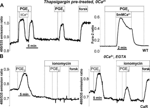 Cyclic AMP accumulation is sensitive to [Ca2+]i. The 480/535 nm emission ratio of the cAMP/FRET probe. (A) HEK WT cells. An artificial pulse of intracellular Ca2+ was generated by pretreating cells with thapsigargin in Ca2+-free solutions and then re-adding 5 mM Ca2+ at the time point indicated during the 100-nM PGE2 response (left). The corresponding time course for the [Ca2+]i increase as measured in separate experiments by fura-2 is shown in the right panel. (B) HEK CaR cells. (left) Persistent elevation of [Ca2+]i using 10 μM ionomycin in the presence of extracellular Ca2+ yields a persistent increase in [Ca2+]i (not depicted) that inhibits both PGE2- and forskolin-induced increases in the cAMP/FRET ratio. (right) Transient increase [Ca2+]i generated by ionomycin treatment in Ca2+-free solutions (not depicted) does not prevent PGE2- or forskolin-induced increases in the cAMP/FRET ratio.