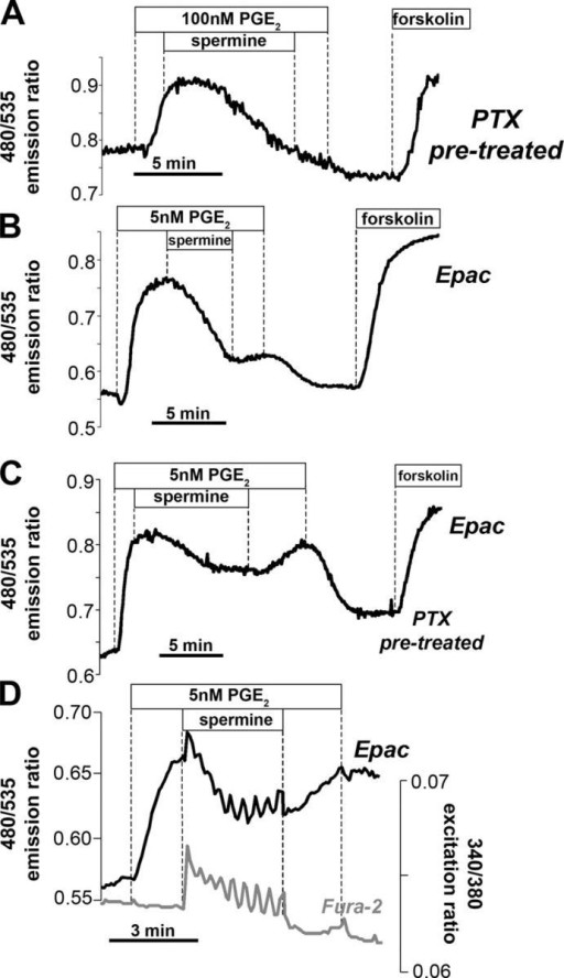 Profile of the spermine-induced decline in cAMP after PTX pretreatment as measured by PKA- and Epac-based sensors. (A) In PTX-pretreated HEK CaR cells (100 ng/ml × 16 h), spermine added during the peak of PGE2 stimulation causes a smooth decline in the 480/535 nm ratio, even though [Ca2+]i, as measured by fura-2, initially maintains an oscillatory pattern under these conditions (not depicted). (B) A similar smooth decline in the 480/535 nm emission ratio is observed when spermine is added during the peak of the response to 5 nM PGE2 as measured using the Epac sensor. (C) As in B, but in PTX-pretreated cells. (D) Concurrent fura-2 and FRET ratio measured in fura-2–loaded HEK CaR cells transfected with the Epac sensor shows persistence of spermine-stimulated Ca2+ oscillations in Epac-expressing cells, although there is significant optical contamination of the FRET channel by the fura-2 signal.