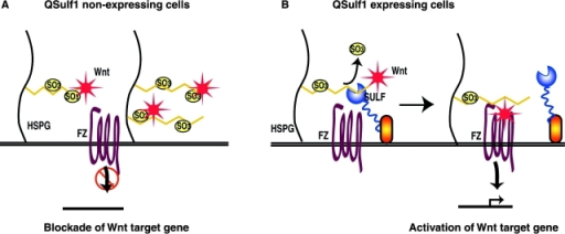 A two-state catch or presentation model of QSulf1 regulation of Wnt signaling. (A) In QSulf1-nonexpressing embryonic cells, HS chains on cell surface HSPGs are in a 6-O–sulfated state, which binds with high affinities to catch Wnt ligands, preventing functional interactions of bound Wnts with their Frizzled receptors. (B) In QSulf1-expressing cells, selective 6-O desulfation activity of QSulf1 removes 6-O sulfates from HS chains on cell surface HSPGs to convert HS to a low affinity binding state for Wnts. 6-O–desulfated HS then can present Wnt ligands to Frizzled receptor and can form functionally active Wnt–HS–Frizzled receptor complexes for initiation of Wnt signal transduction.