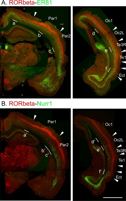 Double in situ hybridization histochemistry (ISH) of RORbeta/ER81 (A) and RORbeta/Nurr1 (B).Signals in red are for RORbeta and those in green are for ER81 (A) or Nurr1 (B). The arrowheads indicate the area borders that were deduced by comparing the gene expression patterns shown by double ISH and those revealed by the cortical box method. Par1, Par2, Oc1, Oc2L and Te1 correspond to the primary and secondary somatosensory areas (Par1 and Par2), the primary and secondary visual areas (Oc1 and Oc2L) and the primary auditory area (Te1). Ectorhinal cortex (Ect) is also indicated. The white bars denoted as a–e and a'–e' are the regions magnified in Fig. 2. This figure is a montage of several images. Although the lighting condition of the original images was not even at this low resolution, we adjusted the contrast of each component image manually so that the montage appeared to be consecutive. Scale bar, 2 mm.