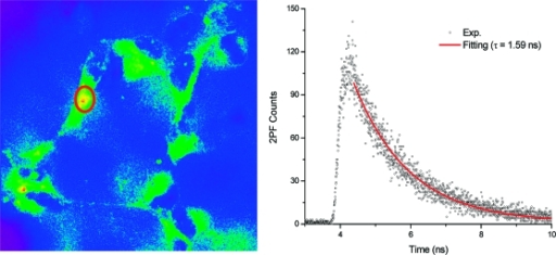 Fluorescence lifetime FLIM of H1299 cells labeled with cyclic peptide bioconjugate 7. The decay curve corresponds to the circled area in the left image.