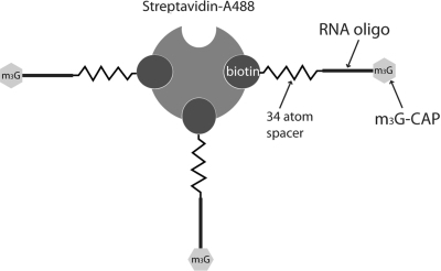 Schematic representation of the m3G-CAP oligo construct bound to the Streptavidin-Alexa488 (STV) used in the nuclear transport assays by cytoplasmic microinjections in Xenopus oocytes and by PULSin protein delivery to the cytosol of a mammalian cell line. Image proportions are exaggerated for a better understanding.