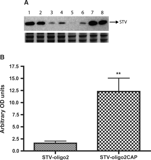 Accumulation of Streptavidin complexes in Xenopus oocyte nuclei after cytoplasmic injections. Oocytes were injected in the cytoplasm with either STV-oligo2 or STV-oligo2CAP complexes and after 4 h incubation the nuclei were dissected and collected for western blot analysis. (A) Upper panel shows western blot using anti-Streptavidin probing. Each lane corresponds to one group of four nuclei pooled together. Lanes 1–2–7–8: nuclei dissected from oocytes injected with STV-oligo2CAP (m3G-CAP-PMO2); lanes 3–4–5–6: nuclei dissected from oocytes injected with STV-oligo2 (p-PMO2). Lower panel shows a protein loading control by staining the PAGE gel with comassie blue after transfer. (B) Graph showing the quantification of western blot results by densitometry with normalization to the loading controls using Fluor-S MultiImager and Quantity One software® (BioRad) (SDs for n = 4 are shown). ** P < 0.005.