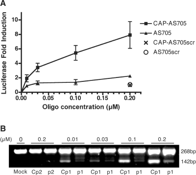 (A) Fold-induction of splice-correction 24 h after transfection of HeLa/Luc705mut with 2′-O-methyl antisense (AS) oligos at different concentrations. Correction was measured by testing for luciferase activity after AS oligo treatment relative to mock treatment. Both oligos have an additional tri-nucleotide extension (AUA) on their 5′-ends to which an m3G-CAP was added in one of them. Error bars show standard deviations for at least n = 3. (B) RT–PCR. Total cellular RNA was subjected to RT–PCR. The upper band (268 bp) and lower band (142 bp) correspond to the aberrant and correct luciferase mRNA, respectively. Cp1 and p1 correspond to the antisense oligo (AS705) with (oligo Cp1) or without (oligo p1) m3G-CAP added. Cp2 and p2 correspond to the scrambled (control) antisense oligo with (oligo Cp2) or without (oligo p2) m3G-CAP.