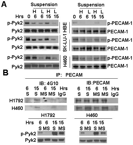 Induction of phosphorylation of Pyk2 and PECAM by cell aggregation. A, Phosphorylation of Pyk2 and PECAM in high versus low cell density cultures. Different concentrations of HBE, SK-LU-1, or H460 cells (H: 5.0 × 105 cells L: 2.5 × 105 cells) were cultured in 60-mm polyHEMA-coated dishes for 0, 6, or 15 h. Cell lysates were resolved by SDS-PAGE and analyzed by immunoblotting with anti-phospho-Pyk2 (Tyr881), or anti-Pyk2 antibody (left). Equal amounts of whole-cell extracts were immunoprecipitated with anti-PECAM antibody followed by immunoblotting with 4G10 antibody (Right). B. Phosphorylation of Pyk2 and PECAM in regular suspension versus methyl-cellulose suspension cultures. H1792 and H460 cells were cultured in polyHEMA-coated dishes (S) or methyl-cellulose dishes (MS) for 6 or 15 h, harvested, and lysed with RIPA buffer. A, Equal amounts of whole-cell extracts were immunoprecipitated with anti-PECAM antibody followed by immunoblotting with anti-phosphotyrosine 4G10 antibody (Upper). Equal amounts of whole-cell extracts were immunoblotted with anti-pPyk2 (Tyr881) or anti-Pyk2 antibody (Lower).