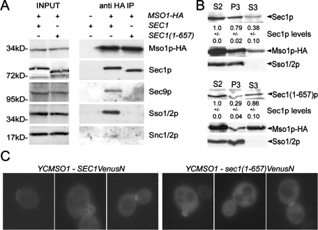 The Sec1p tail is important for Sec1p interaction with SNARE complexes and membrane association in vivo. (A) The Sec1p C-terminal tail is needed for Sec1p coimmunoprecipitation with SNARE components. MSO1-HA cells expressing wt SEC1 or mutant sec1(1–657) cells were grown until OD600 = 1, lysed, and subjected to anti-HA immunoprecipitations. Immunoprecipitates were analyzed by Western blotting with anti-HA, -Sec1p, -Sec9p, -Sso1p/2p, and -Snc1p/2p antibodies. (B) Sec1p(1–657) has reduced membrane association. Membranes were fractionated by differential centrifugation and analyzed by Western blotting and detection with anti-HA, -Sec1p, and -Sso1p/2p antibodies. S2, the supernatant after centrifugation at 10,000 × g, P3, the pellet after centrifugation at 100,000 × g and S3, the supernatant after centrifugation at 100,000 × g. The Sec1p (wt and 1–657) signal from three independent experiments was quantified and normalized to the amount of Sec1p in the S2 fraction. (C) Localization of the Mso1p interaction site with Sec1p and Sec1p(1–657) in vivo. Haploid, vegetatively grown cells (H304) expressing YFP(C)-Mso1p (CEN, MET25 promoter, B3044) and Sec1p-Venus(N) (CEN, ADH1 promoter, B2930) or Sec1p(1–657)-Venus(N) (CEN, ADH1 promoter, B3279) were investigated by fluorescence microscopy. The distribution of the BiFC signal was analyzed in a minimum of 70 cells per interaction mode.