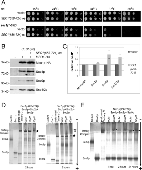 The Sec1p-tail promotes Sec1p-SNARE complex association. (A) The effect of SEC1(658–724) (B3424) overexpression for growth in SEC1 wt (H2657) and sec1(1–657) mutant (H3659) strains. The growth of serial 10-fold dilutions of cells grown at the indicated temperatures is shown. (B) Sec1p tail overexpression enhances coimmunoprecipitation of SNARE complexes with Mso1p-HA. MSO1-HA cells (H2657) overexpressing SEC1(658–724) (B3424) were grown until OD600 = 1, lysed, and subjected to anti-HA immunoprecipitations. Immunoprecipitates were analyzed by Western blotting with anti-HA, -Sec1p, -Sec9p, and -Sso1p/2p antibodies. (C) Quantification of three independent experiments of immunoprecipitations shown in (B). (D) Sec1p(658–724) promotes SNARE complex formation in vitro. Sso1p, Snc2p, Sec9p (30 μM each), and indicated amounts of His6-Sec1p(658–724) were mixed and incubated at room temperature for 2 h. The complex formation was analyzed by native gel. The 8% native gels were run from the – to the + pole. The black star indicates the position of ternary complexes, and the open star other complexes. (E) Kinetics of the Sec1p(658–724) effect on SNARE complex formation in vitro. Gel mobility assays were performed essentially as in (D) with the exception that proteins were incubated at 4°C for 1, 2, or 24 h. The arrowheads indicate the position of ternary complexes.