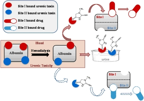 Correlation between uremic toxicity and impaired drug binding.Mechanism showing possible cascade displacement model in uremic toxin– drug system depicts allosteric effect of toxin when binding to site I and site II. Red colour: CTN binding to its high-affinity site, site I as shown by solid arrows; blue colour: CTN binding to its low-affinity site, site II as shown by dashed arrows. Hemodialytic reaction occurring within the blood plasma has been shown in red box.