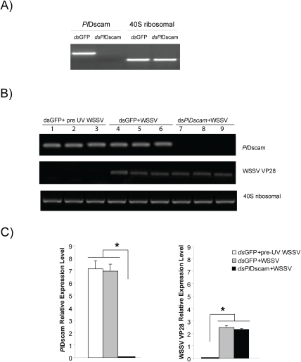 Effect of PlDscam silencing on viral replication of WSSV in vitro.A) Silencing of PlDscam using dsRNA in cultured HPT cells was confirmed by RT-PCR before WSSV inoculation. B) WSSV VP28 expression in PlDscam silenced animals (lane 7–9) and the control (lane 4–6). UV-killed WSSV was served as control (lane 1–3), analyzed by semi-quantitative RT-PCR. C) Statistical analysis after comparing different band intensity of the results shown in (B). Significant differences are indicated by asterisks (P<0.05).