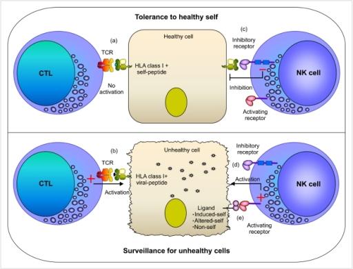 Cytotoxic Vs Natural Killer Cells